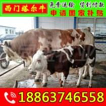 西門塔爾牛 夏洛萊牛 魯西黃牛 都是耐粗放好飼養的肉牛